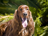 An Irish Setter Lying Surrounded by Greenery  California  USA