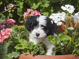 A Havanese Puppy in a Flower Pot Surrounded by Flowers  California  USA