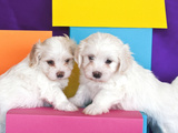 Two Havanes Puppies with Colorful Background  California  USA