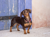 A Dachshund Puppy Standing in a Colorful Doorway with a Pink Bling Collar On  California  USA