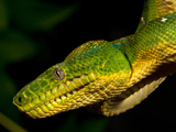 Emerald Tree Boa  Corallus Caninus  Native to Northern South America