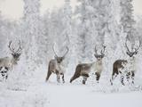 Caribou  Finger Mountain  Alaska  USA