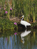 Great Egret  Caddo Lake  Texas  USA