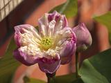 Lotus Flower  Penang  Malaysia