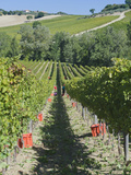Grape Harvest  Montefalco  Italy