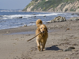 A Golden Retriever Walking with a Stick at Hendrey's Beach in Santa Barbara  California  USA
