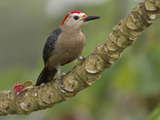 Golden-Fronted Woodpecker (Melanerpes Aurifons)  Cayo District  Belize
