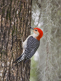 Red-Bellied Woodpecker  Texas  USA