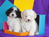 Two Havanese Puppies Sitting Together Surrounded by Colors  California  USA
