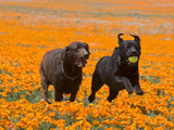 Two Labrador Retrievers Running and Playing Chase in Poppies at Antelope Valley  California  USA