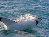 Great White Shark (Carcharodon Carcharias) on Surface of Water  Capetown  False Bay  South Africa