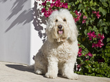 A Goldendoodle Sitting on a Garden Walkway  California  USA