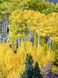 Aspen Fall Foliage  Eastern Sierra Foothills  California  USA