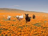 Four Labrador Retrievers Running Through Poppies in Antelope Valley  California  USA