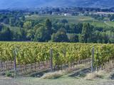 Vineyard  Montefalco  Italy