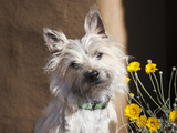 A White Cairn Terrier Sitting Next to Yellow Flowers