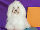 A Havanese Sitting in Front of Colorful Background  California  USA