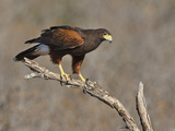 Harris's Hawk  Texas  USA
