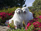 Two Great Pyrenees Together Among Red Flowers  California  USA