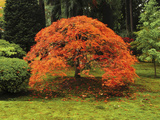 Japanese Maple in Full Fall Color: Portland Japanese Garden  Portland  USA  Oregon