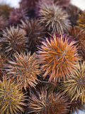 Sea Urchins for Sale  Cadiz  Spain