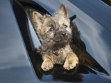 A Cairn Terrier Puppy Coming Through a Shinny Black Surface