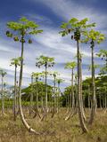 Pawpaw (Papaya) Plantation  Lower Sigatoka Valley  Sigatoka  Coral Coast  Viti Levu  Fiji