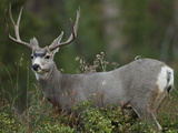 Mule Deer  Yellowstone National Park  Wyoming  USA