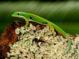 4 Spot Day Gecko  Phelsuma Quadriocellata  Native to Madagascar