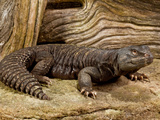 Mali Uromastyx  Uromastyx Maliensis  Native to Northern Africa