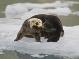 Sea Otter  Kenai Fjords National Park  Alaska  USA