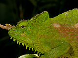 Four Horned Chameleon  Trioceros (Chamaeleo) Quadricornis  Native to the Cameroons