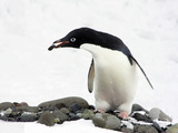 An Adelie Penguin (Pygoscelis Adeliae) at Paulet Island  Antarctica
