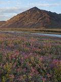 Dwarf Fireweed  Arctic National Wildlife Refuge  Alaska  USA