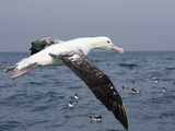 Gibson's Albatross  Kaikoura  Marlborough  South Island  New Zealand