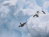 Adelie Penguins  Paulet Island  Antartica  Antarctic