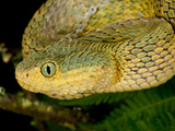 Bush Viper  Atheris Squamiger  Native to Eastern Africa
