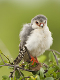 Pygmy Falcon  Samburu Game Reserve  Kenya