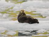 Sea Otter  Kenai Fjords National Park  Alaska  USA