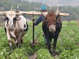 Farmer Plowing  Bumthang  Bhutan