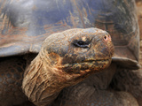Close Up of a Galapagos Tortoise  Giant Tortoise  Geochelone Nigra  Galapagos Islands  Ecuador