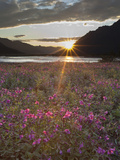 Dwarf Fireweed  Arctic National Wildlife Refuge  Alaska  USA