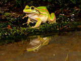 Golden Bell Treefrog  Litoria Aurea  Native to Australia