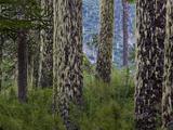 Monkeypuzzle Trees  Huerquehue National Park  Chile