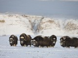 Muskoxen  Arctic National Wildlife Refuge  Alaska  USA