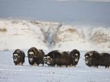 Muskoxen  Arctic National Wildlife Refuge  Alaska  USA