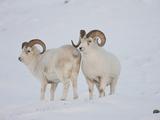 Dall Sheep Rams  Arctic National Wildlife Refuge  Alaska  USA