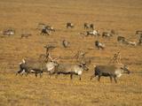 Bull Caribou  Alaska  USA