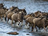White-Bearded Wildebeest  Masai Mara Game Reserve  Kenya