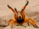 Usacambara Orange Baboon Spider  Pternochilus Murinus  Central Eastern and Southern Africa